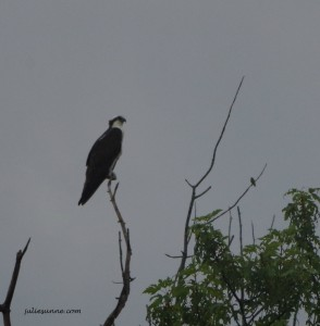 osprey and hummingbird perched-resized
